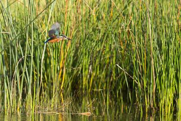Un martin-pêcheur en vol dans le marais © Alexandre