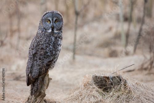 Great Gray Owl Portrait-8495