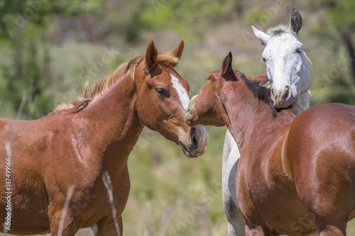 Momento mágico en el campo, un caballo y su yegua expresan todo su amor por su potrillo