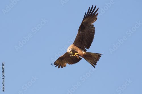 Plexiglas Eagle Milan noir en train de manger une sauterelle en plein vol.