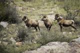 Big Horn Sheep - 187500147