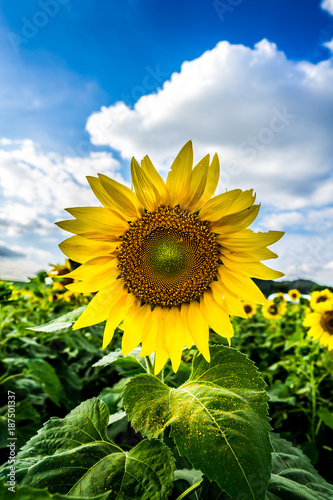 Fotobehang Blauwe hemel Beautiful sunflower in a sunflower field under the clear light and perfectblue sky