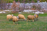 Five sheeps in the pasture in the autumn day. Bosnia and Herzegovina - 187511780