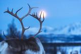 reindeer in its natural environment in scandinavia - 187512990