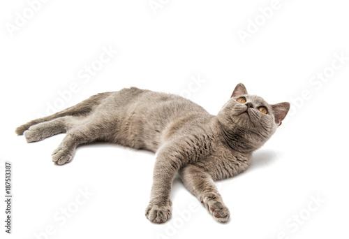 Aluminium Kat gray cat isolated