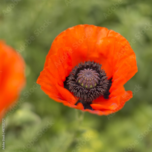 Red poppy - 187525721