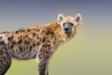 Spotted hyena - 187527519