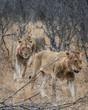 Lions walking in bush