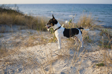 Jack Russel Dog on the Beach