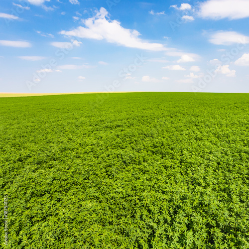 Tuinposter Gras green lucerne field under blue sky with clouds