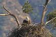 Eagle feeding in nest