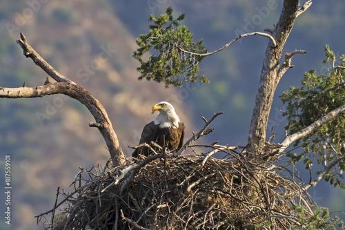 Plexiglas Eagle Eagle feeding in nest