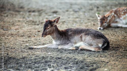 Aluminium Hert Beautiful Small Deer resting on the ground