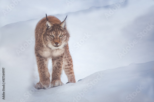 Foto Murales lynx