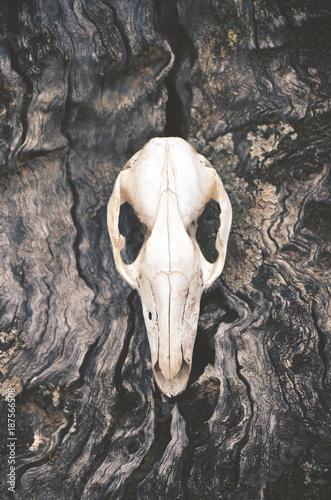 Fotobehang Kangoeroe Kangaroo skull on tree trunk bark background. Moody, dark, pagan and animal totem concepts.