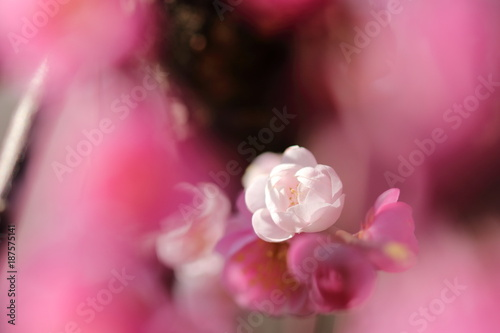 Tuinposter Candy roze 梅