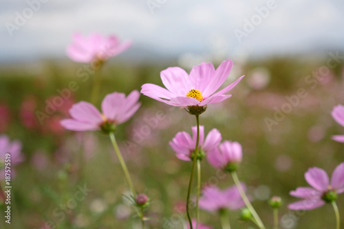 Cosmos flowers in the field ,soft light.
