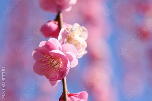 Fotobehang Candy roze 梅