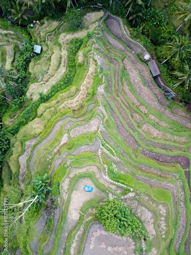 In de dag Olijf Rice terraces Tegallalang in the north of Bali.