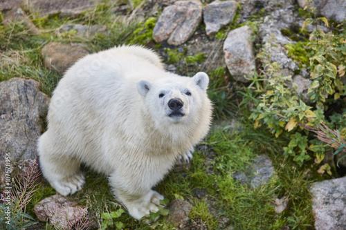 Aluminium Ijsbeer Polar bear in the wilderness. Wildlife animal background