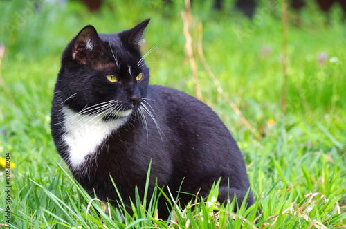 Aluminium Kat schwarz-weiße Europäisch Kurzhaar Katze im Gras
