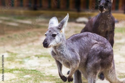 Fotobehang Kangoeroe Wallaroo in the Zoo
