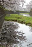 琴海の桜 - 187592704