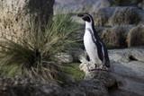 Posing penguin - 187597960