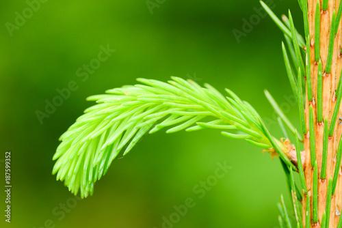 Foto Murales spring bud of coniferous tree