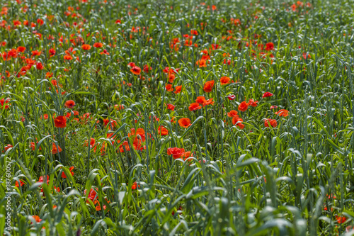 green wheat field with red poppies  - 187600572