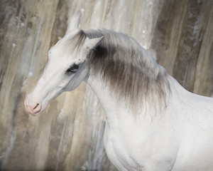Portrait of a beautiful gray horse on light background isolated
