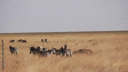 Zebra roaming in the Serengeti National Park, Tanzania