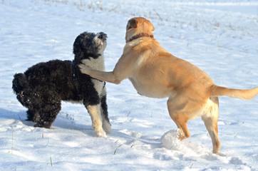 Spielende Hunde im Schnee.