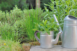 fresh aromatic plants in garden with metal can   - 187611916