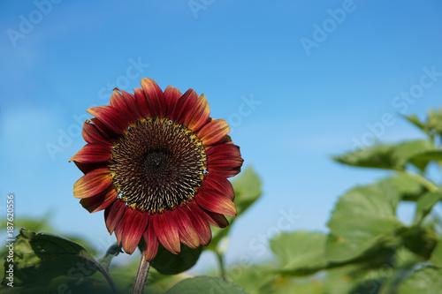 Fotobehang Gerbera Beautiful Red sunflower in garden.