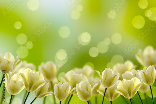 Fotobehang Tulpen weiße tulpen im frühling