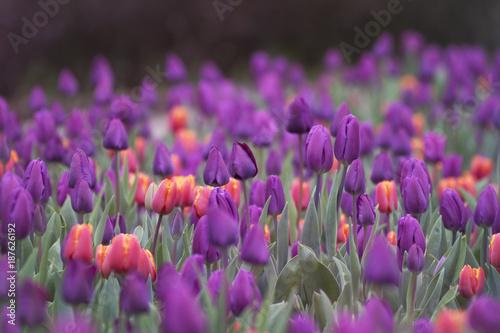 Fotobehang Tulpen Tulpen