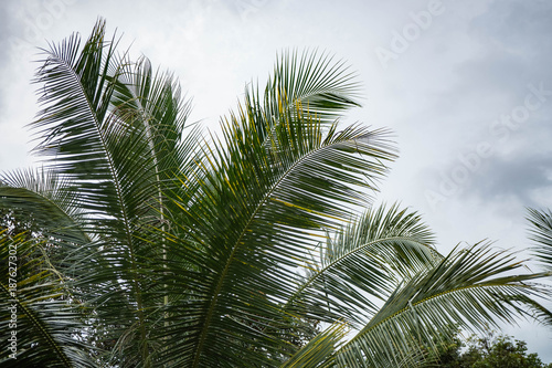 huge palm tree isolated on natural blue sky background