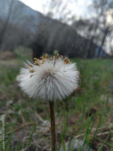 Aluminium Paardebloemen Flowered dandelion