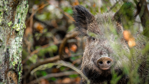 Fotobehang Natuur wild boar watching