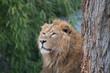 Asiatischer Löwe im Tierpark
