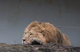 Ruhender asiatischer Löwe - 187634942