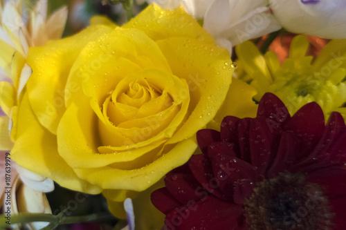 Fotobehang Gerbera Beautiful and gorgeous yellow rose.