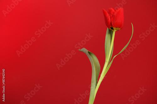 Blooming Botanic Tulip red flower