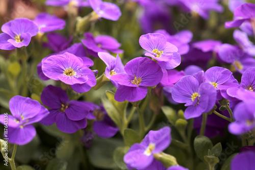 Blüten des Blaukissen, Aubrieta, Aubrietien - 187643336