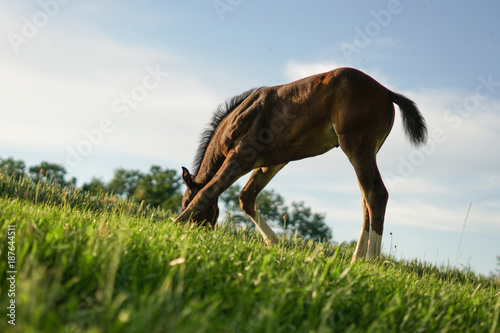 Fotobehang Paarden little foal is looking for something to eat, baby horse having a good time, lucky horse