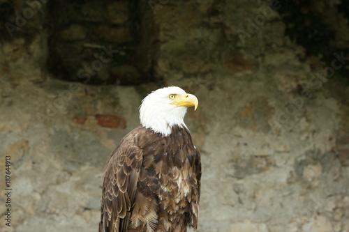Plexiglas Eagle Weißkopfseeadler