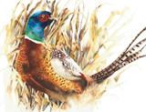 Pheasant game bird f...