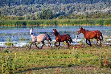 Three running wild horses near a lake and green reeds on an island in the Danube Biosphere Reserve