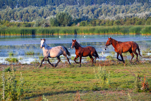 Fotobehang Paarden Three running wild horses near a lake and green reeds on an island in the Danube Biosphere Reserve